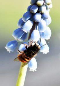 Wildbiene / Mauerbiene